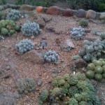Another field of cacti