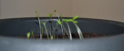 Less-young tomato sprouts.