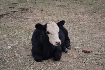 Chillaxing cow