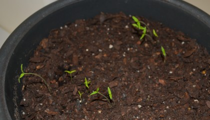 Young tomato sprouts.